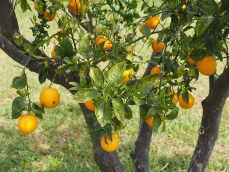 fruit d'orange, arbre, verger, feuille verte, agriculture, jardin, nourriture, agrumes, vitamine