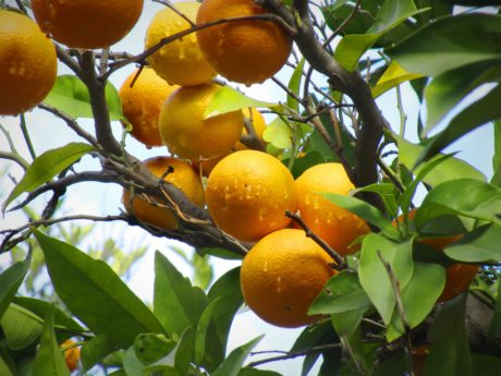 citrus, branch, nature, leaf, food, organic, orange tree, rain, tropical fruit