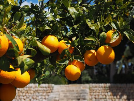 orange tree, orchard, agriculture, leaf, food, garden, tropical fruit, citrus, juice, vitamin