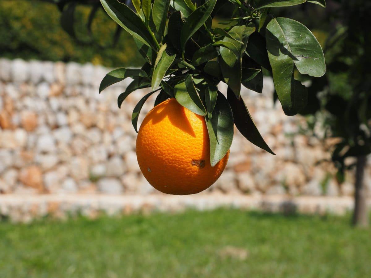 blad, voedsel, sinaasappel fruit, natuur, Citrus, Mandarijn, Mandarijn, vitamine