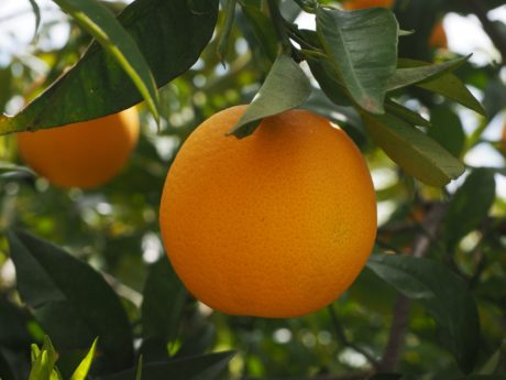 branch, food, garden, leaf, tree, nature, orange fruit, agriculture, orchard, organic