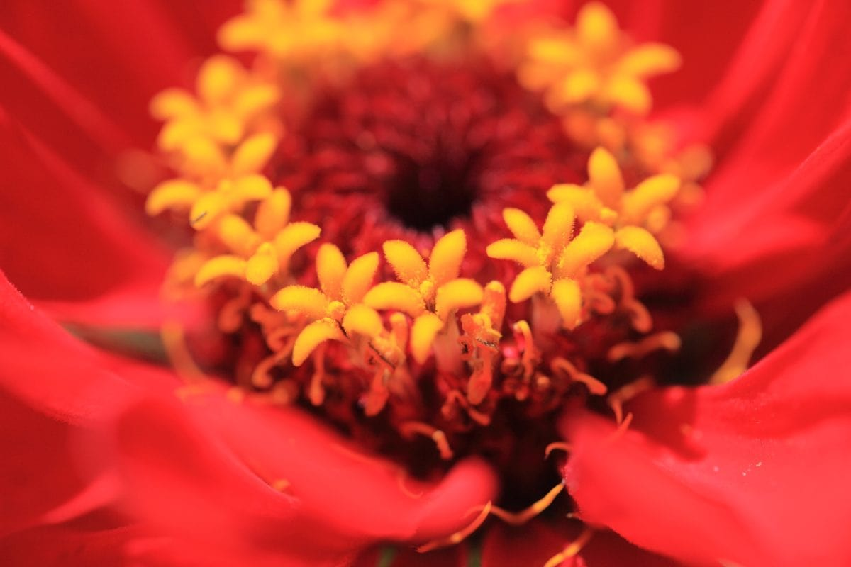 Градина, цвете, венчелистче, лято, природа, красив, разцвет, цвят