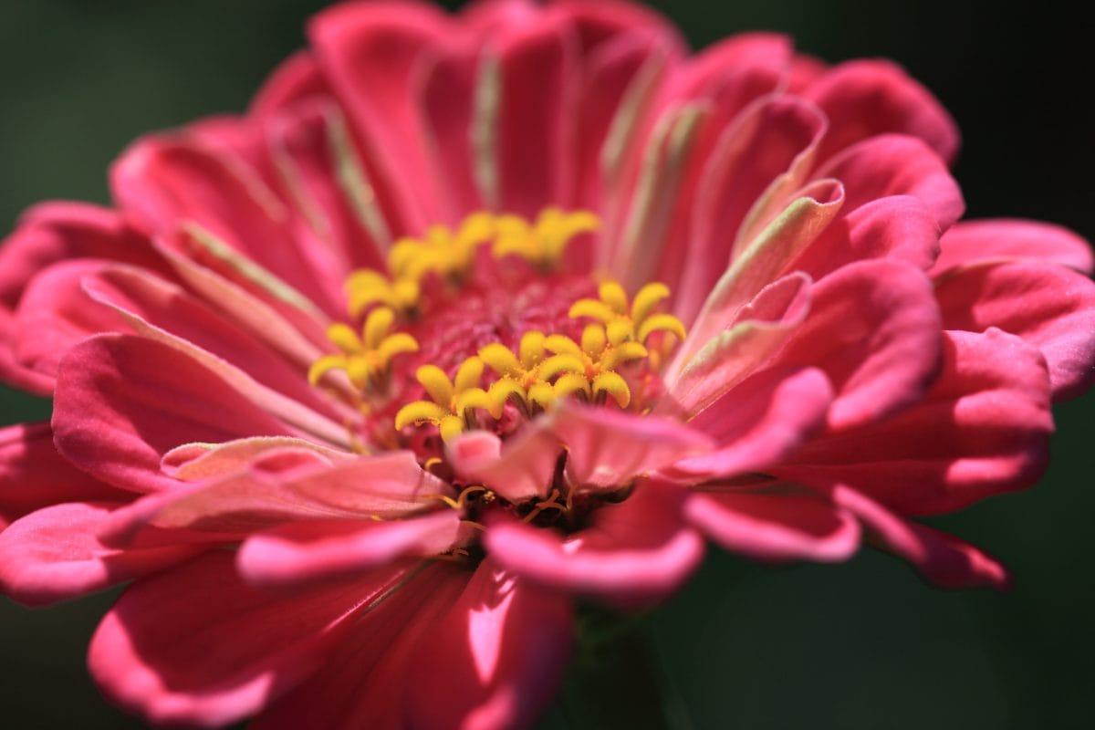 příroda, krásné, okvětní lístek, červený květ, léto, detail, pestík, růžová, rostlin