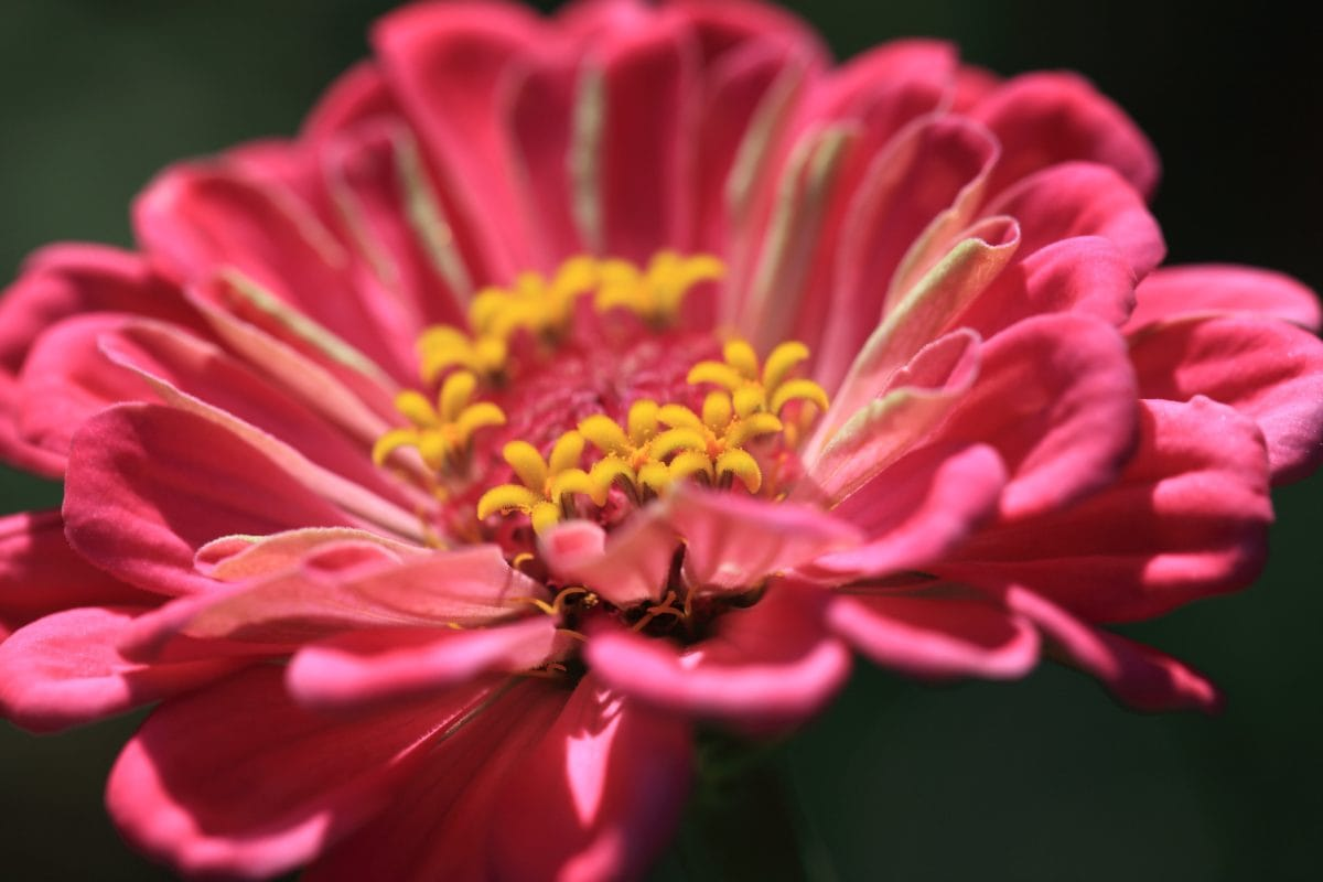naturaleza, hermoso, Pétalo, flor roja, verano, detalle, pistilo, color de rosa, planta