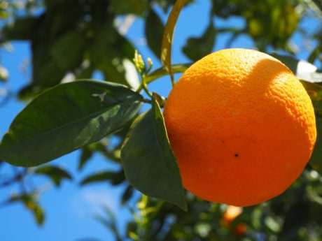 leaf, orange fruit, juice, citrus, orchard, shadow, nature, food, tangerine, vitamin