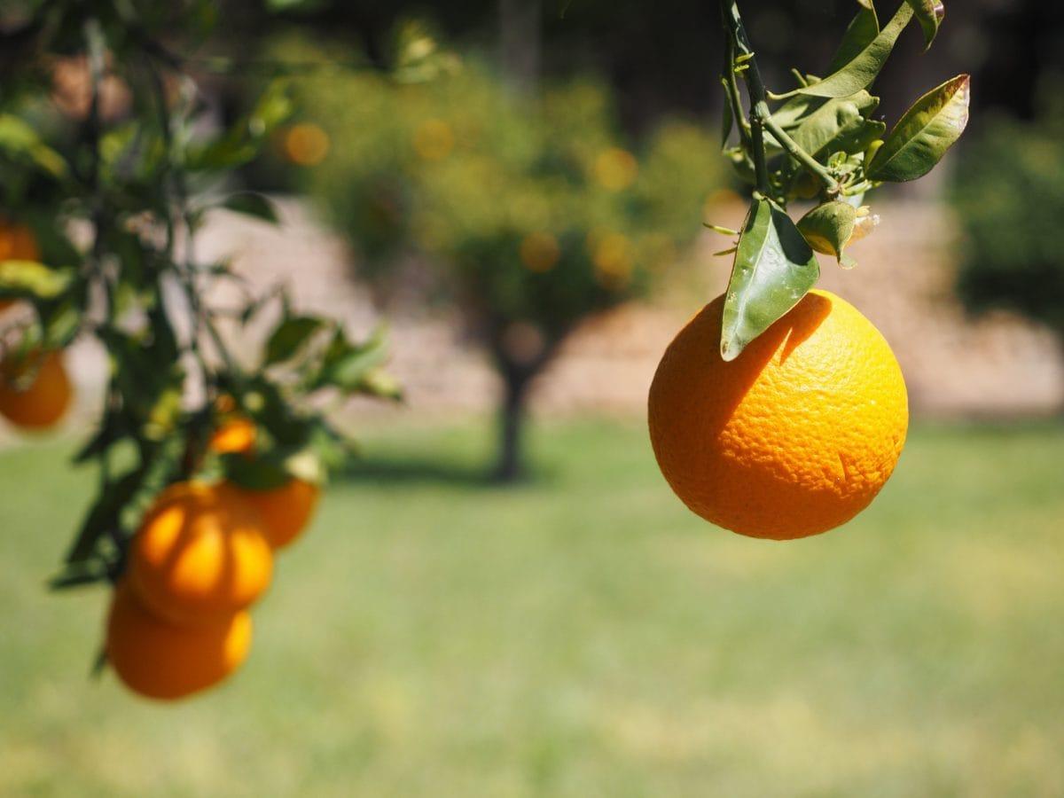 листа, плодове, овощна градина, сянка, на храните, природа, селско стопанство, цитрусови, мандарина
