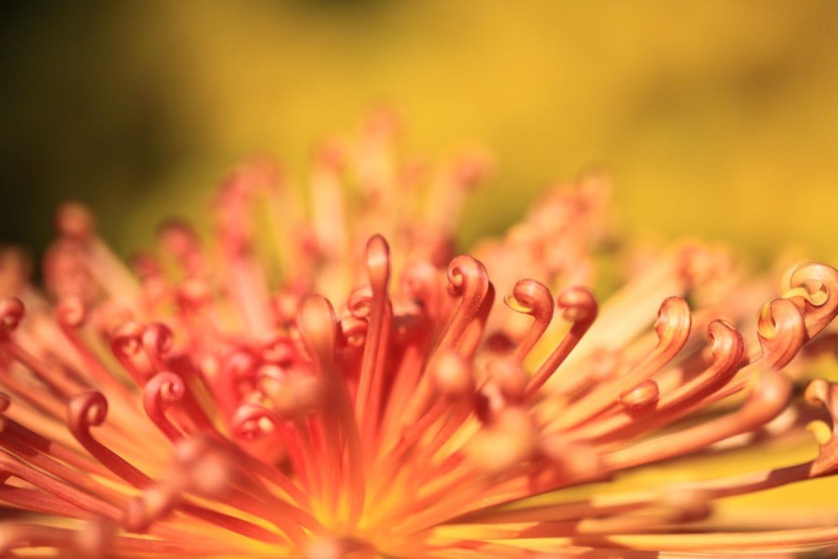 detalj, rød, pollen, økologi, vegetasjon, hagebruk, natur, eksotisk blomst, Plant