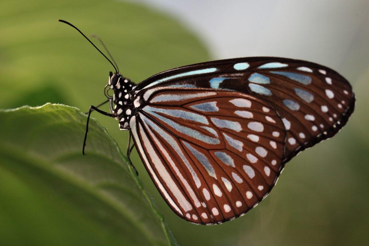 vadvilág, pillangó, gerinctelen, színes rovar, természet