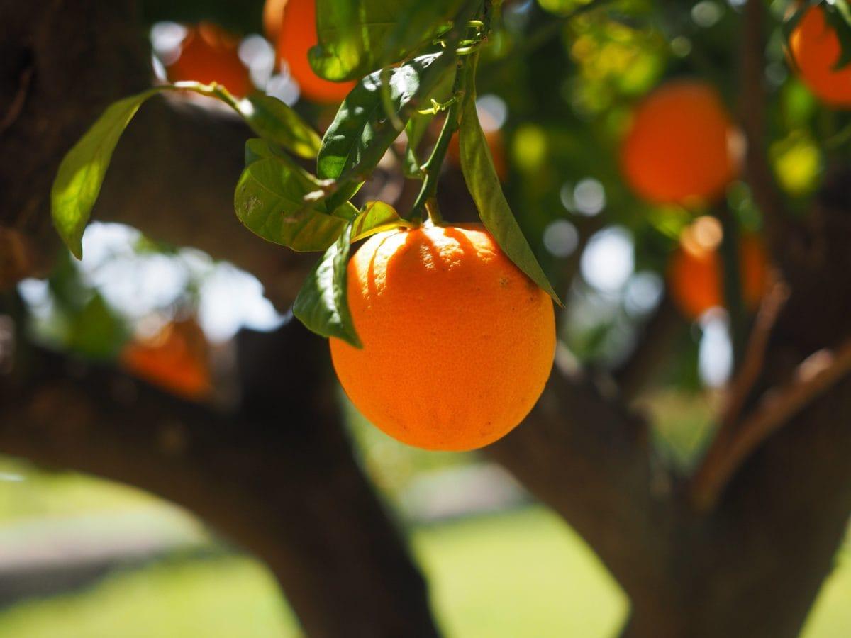 landbruk, mat, frukthage, frukt, tre, natur, blad, sitrus, Tangerine