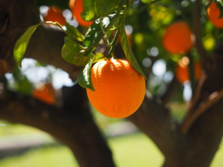 Agriculture, nourriture, verger, fruit, arbre, nature, feuille, agrumes, mandarine