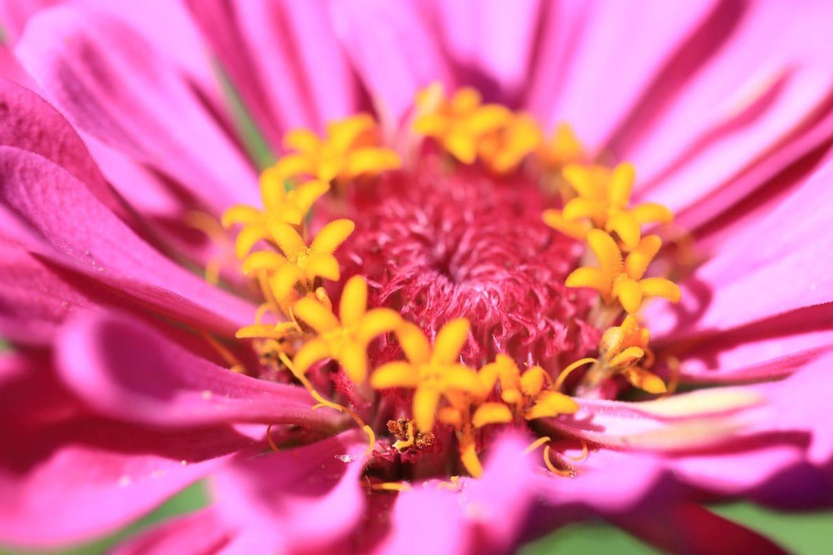 zahrada, léto, okvětní lístek, příroda, krásné, květina, růžová, rostlina