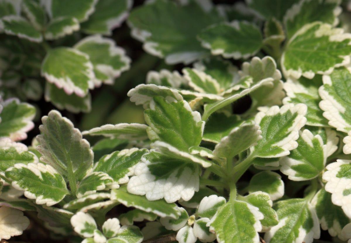green leaf, garden, nature, plant, herb, organism, outdoor