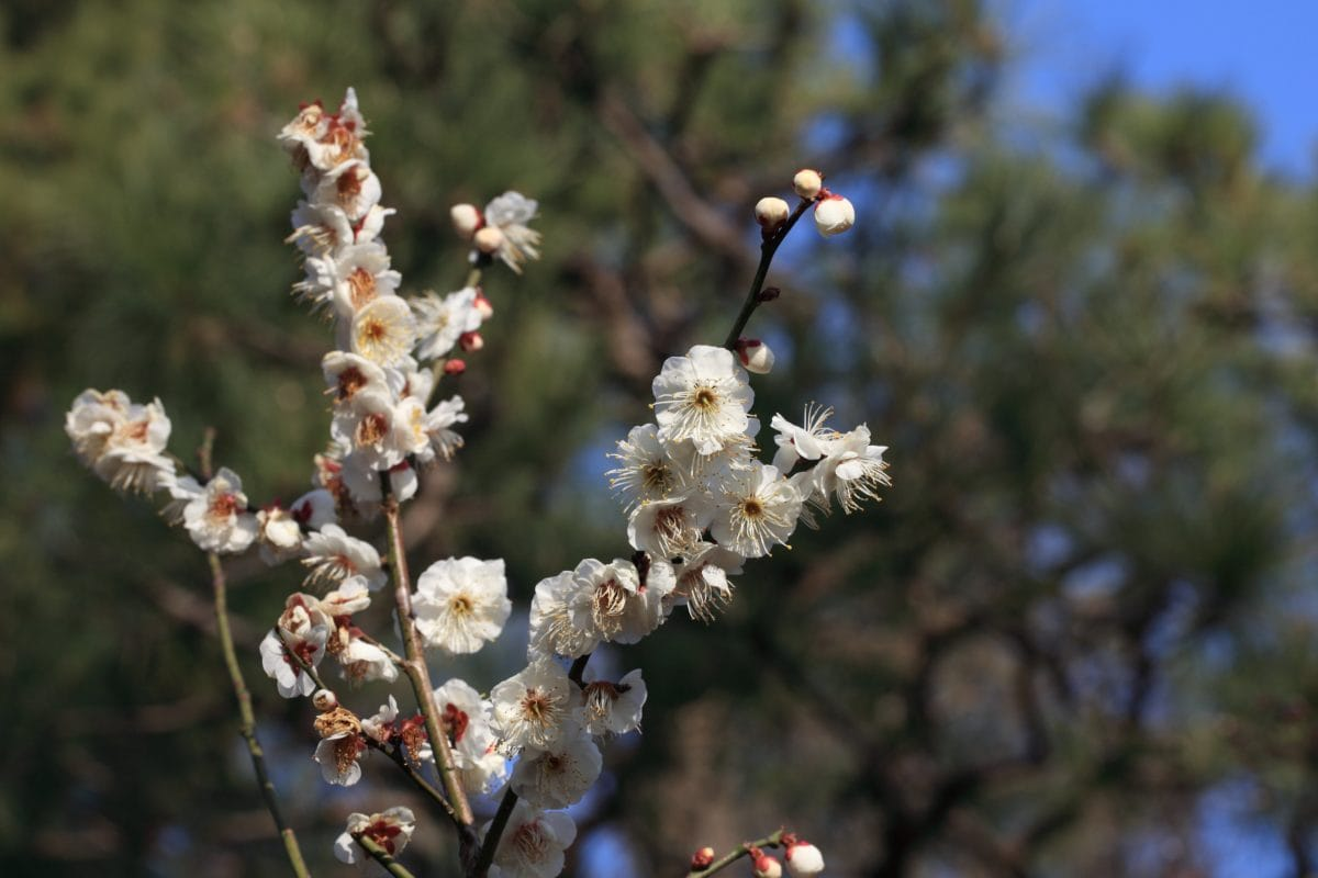 cherry tree, branch, flower, nature, plant, blossom