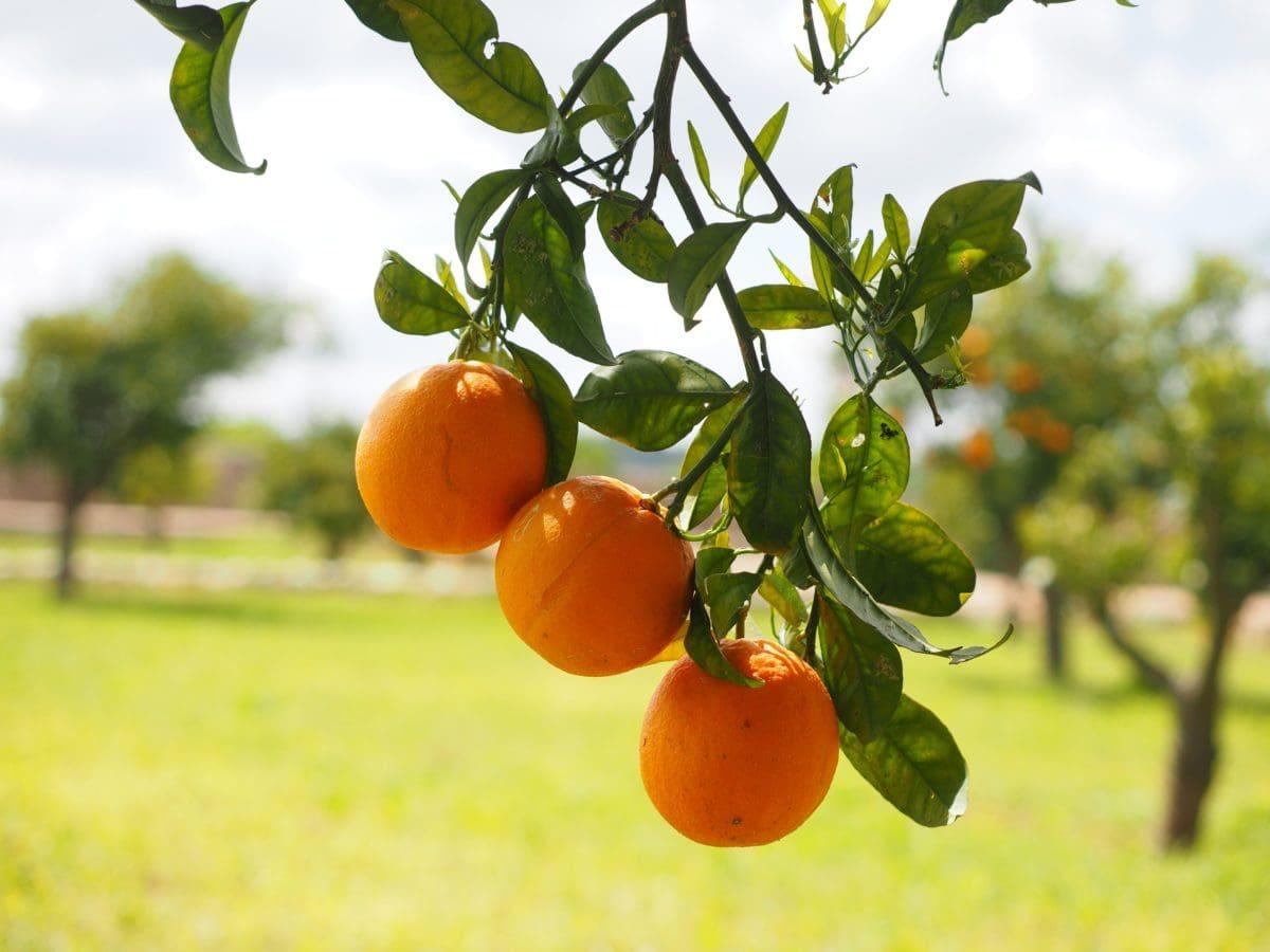 natur, moden frugt, blad, mad, have, landbrug, citrus, Tangerine