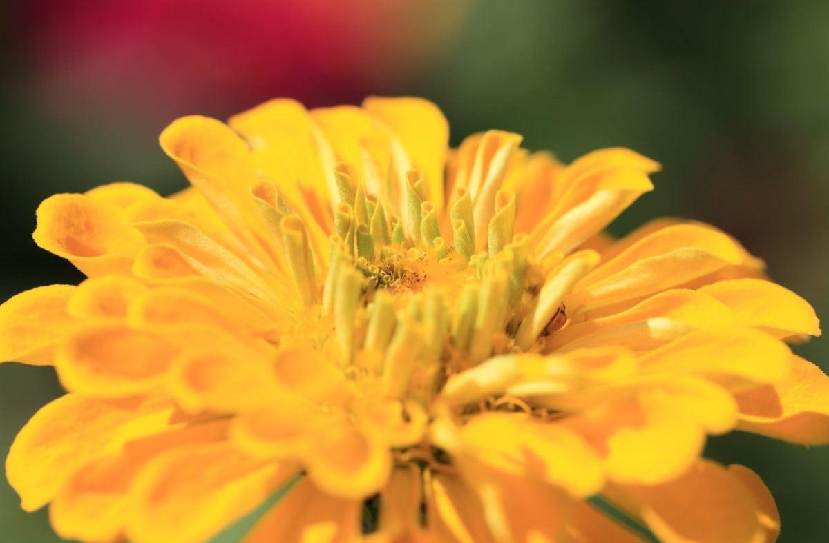 natur, gul blomst, sommer, kronblad, have, plante, urter, blomstre