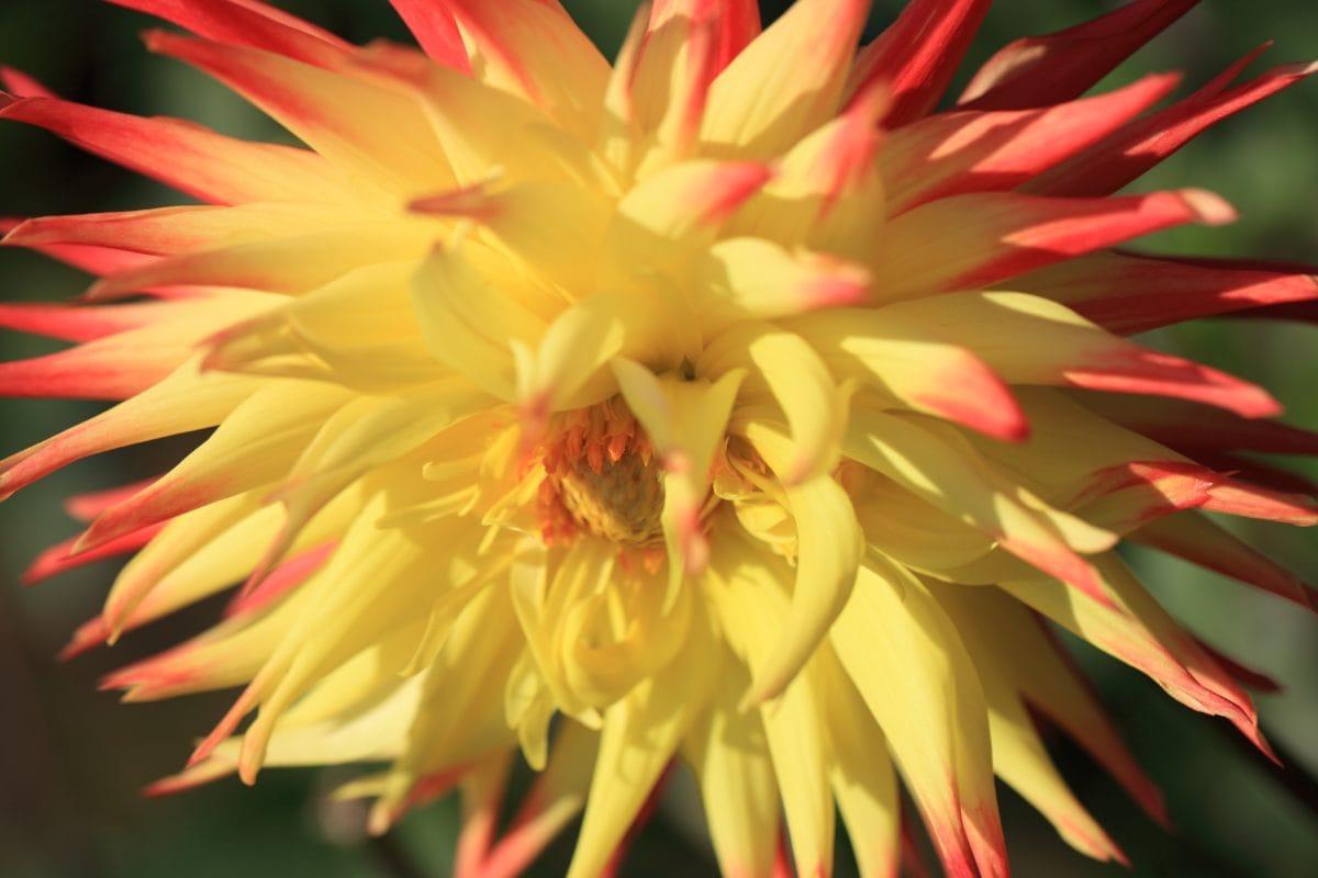natur, eksotisk blomst, Tropic, Plant, petal, Blossom, hage, Bloom