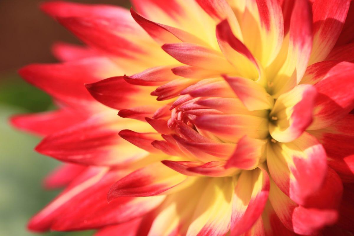 ダリア、夏、自然、庭、エキゾチックな花、花びら、ピンク、植物
