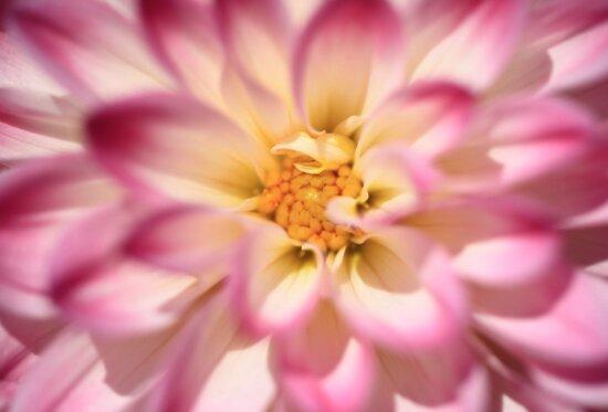 Garten, Sommer, Blütenblatt, schön, blühen, rosa Dahlien, Natur