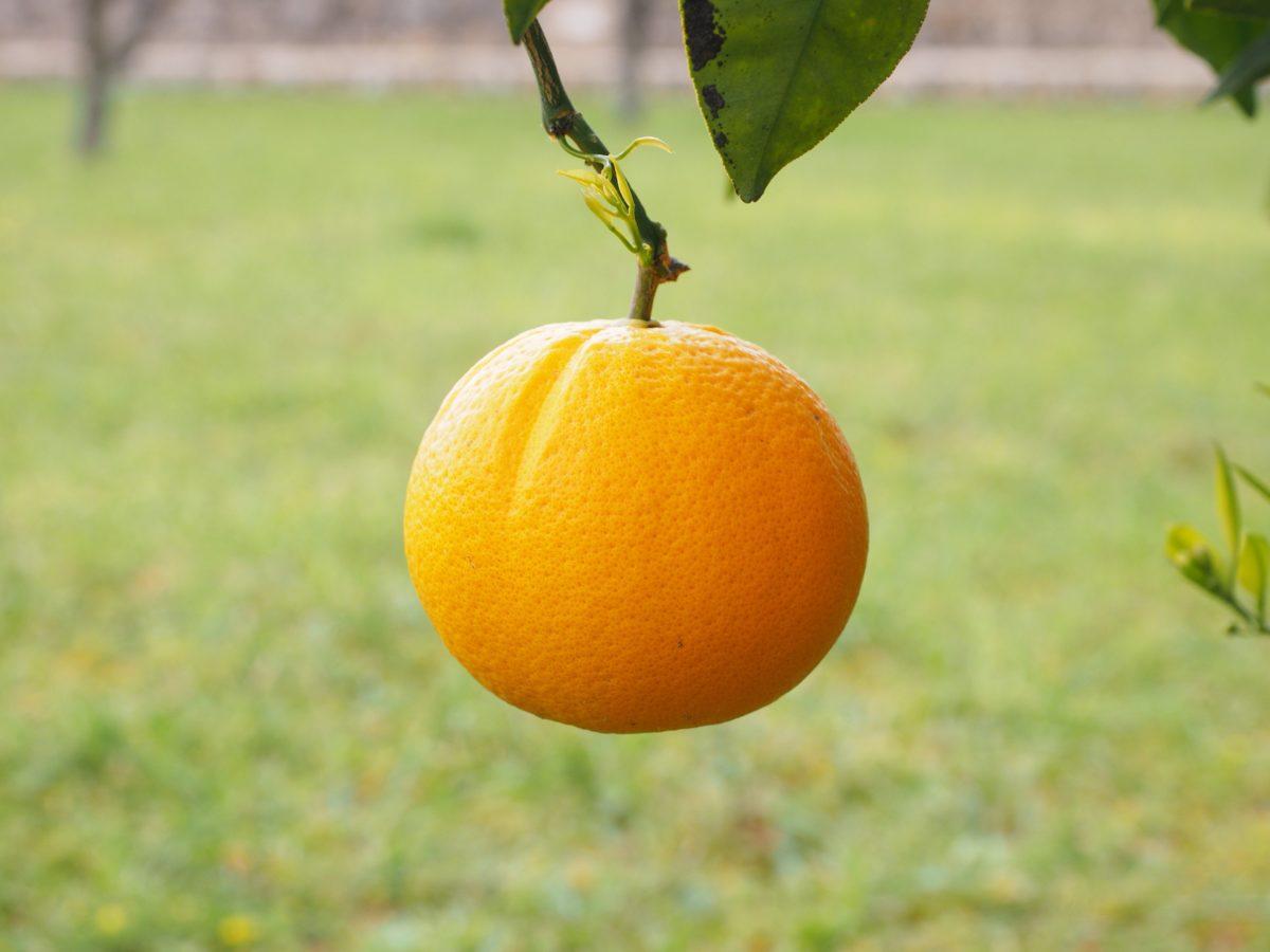 листа, плодове, храна, природа, цитрусови, мандарина, мандарина, витамин