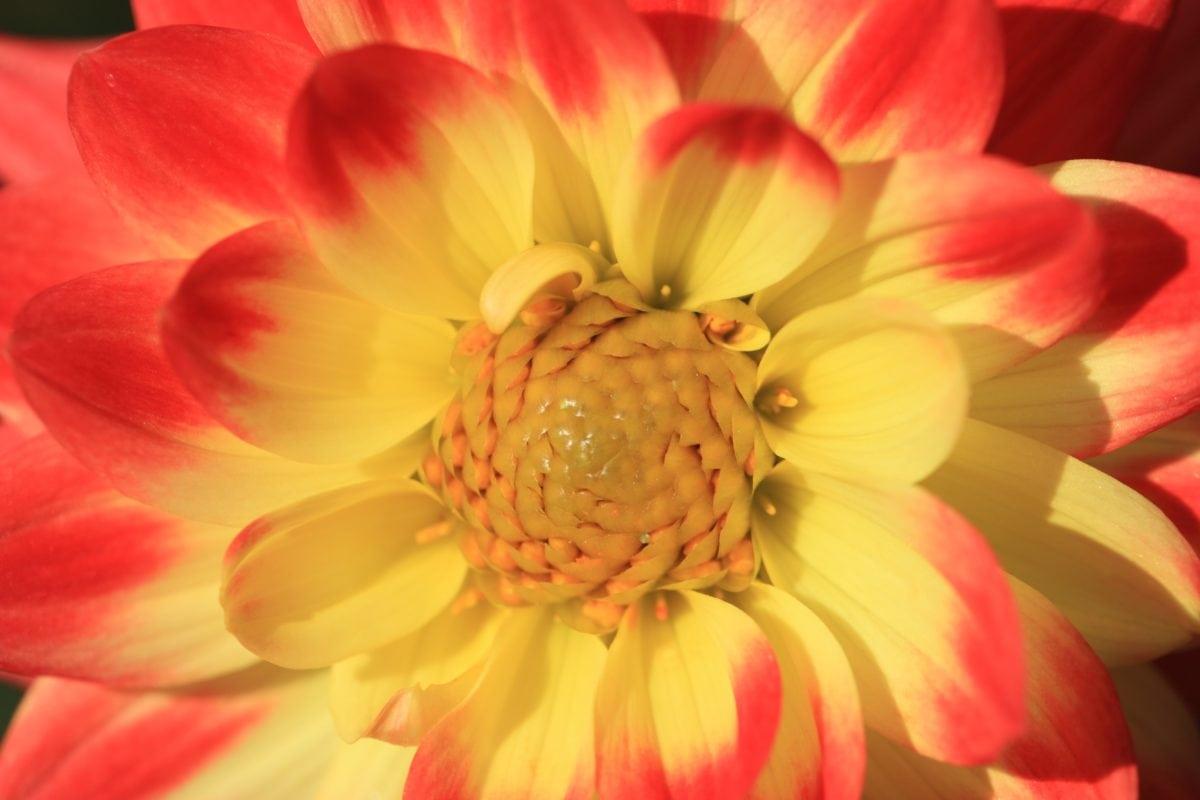 nektar, pollen, kronblad, blomma, natur, rosa, växt, blomma, Bloom