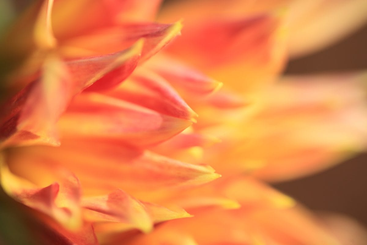 tropisk blomma, sommar, pistill, natur, kronblad, växt
