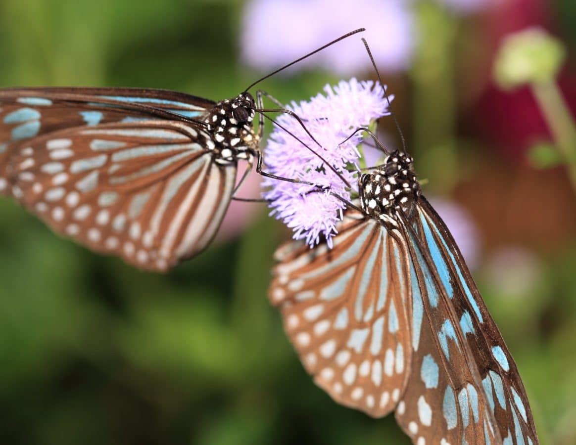 насекомо, пъстра пеперуда, лято, метаморфоза, животните, дивата природа, безгръбначни, природа