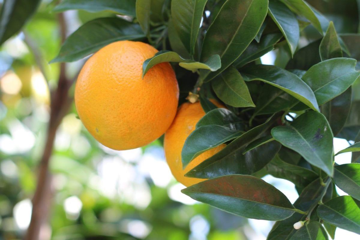 ธรรมชาติ, ใบ, อาหาร, ผลไม้, ส้มเขียวหวาน, ออร์ชาร์ด, แมนดาริน, วิตามิน