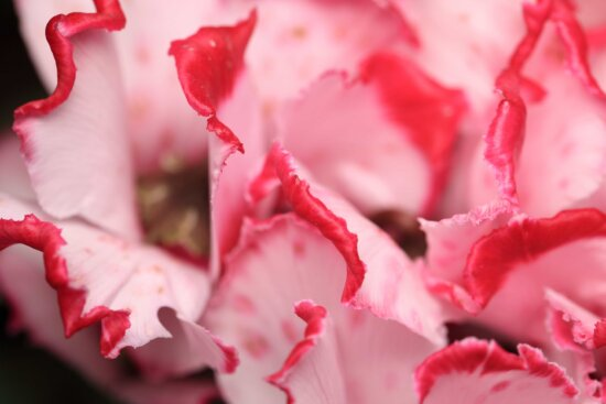 nature, leaf, flower, rhododendron, plant, pink
