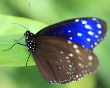 ζώο, έντομο, σκοτεινή πεταλούδα, φύση, καλοκαίρι, άγρια ζωή, ασπόνδυλα, μίμησης, πράσινο φύλλο