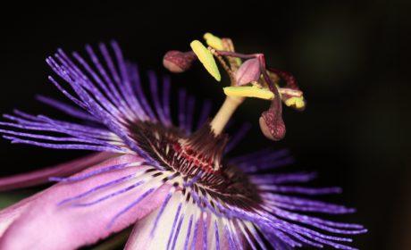 pistil, pelud, nektar, detalj, cvijet, priroda, latica, biljka, biljka