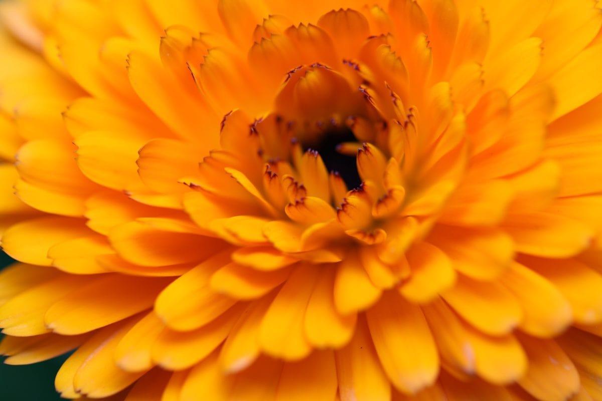 Príroda, leto, kvetina, okvetné lístok, rastlina, kvet, kvet