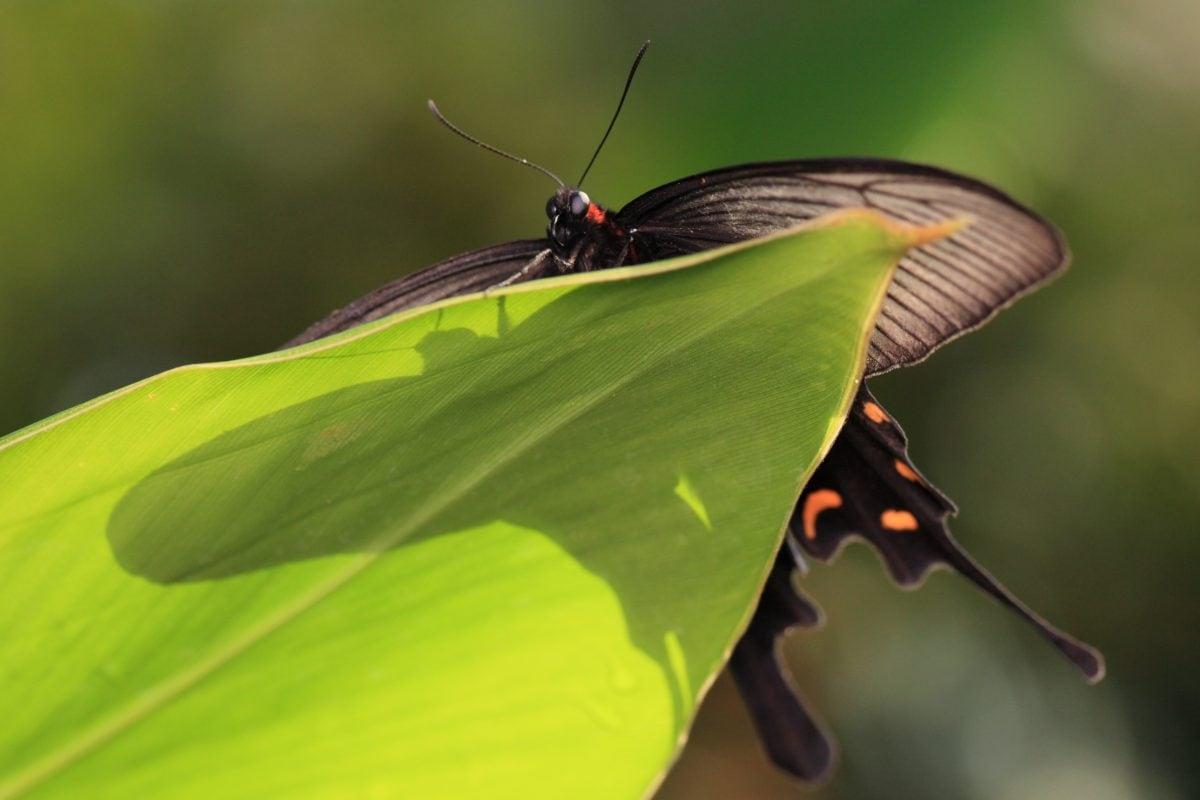biljni i životinjski svijet, zeleni list, priroda, kukac, crni leptir, Arthropod