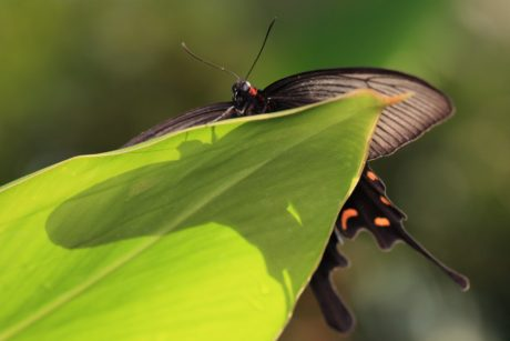wildlife, green leaf, nature, insect, black butterfly, arthropod
