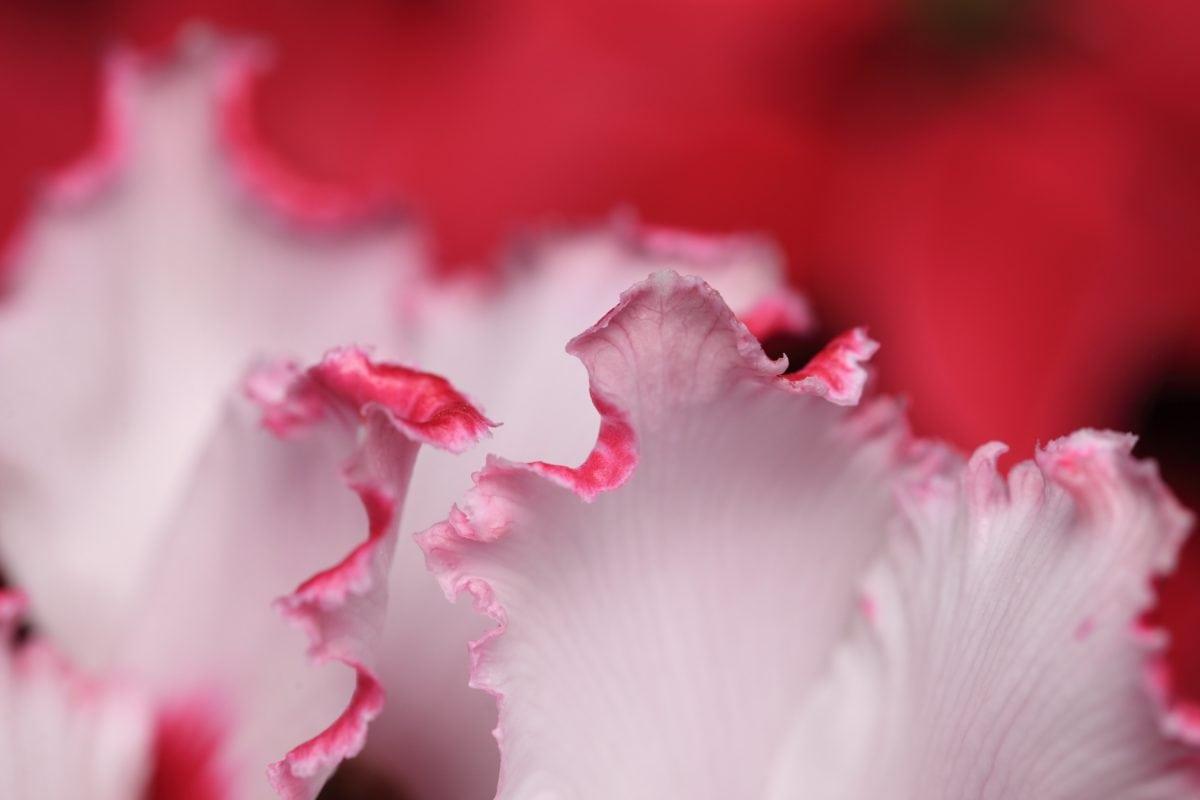 flor, hoja, naturaleza, color de rosa, Pétalo, flor, planta