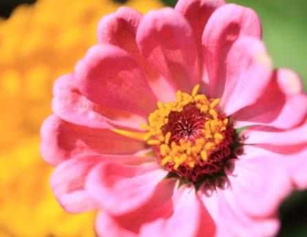 okvetné lístok, príroda, Dahlia, Záhrada, leto, ružový kvet, peľ, ružová