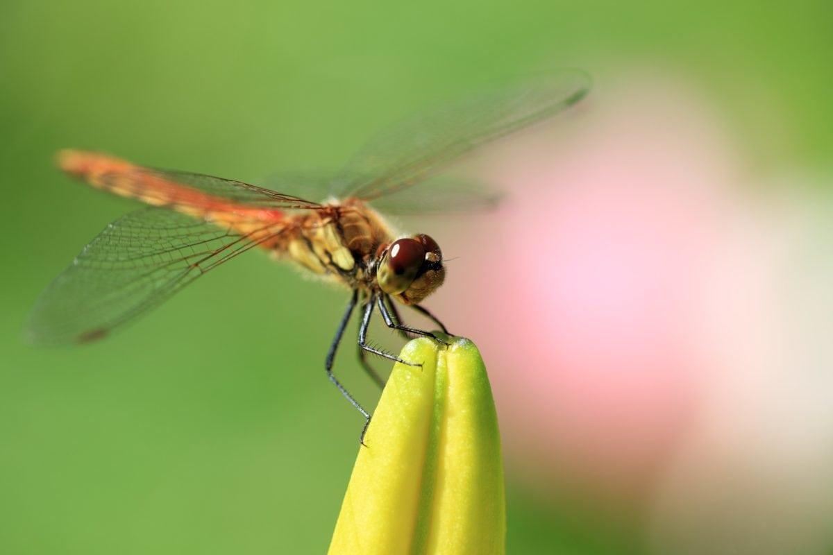 Natur, Libellen, Wirbellose, Tierwelt, Mimikry, Insekt, Metamorphose, Arthropoden