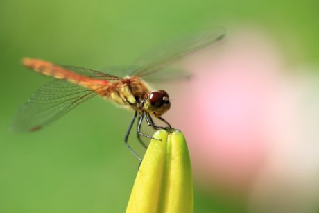 nature, dragonfly, invertebrate, wildlife, mimicry, insect, metamorphosis, arthropod