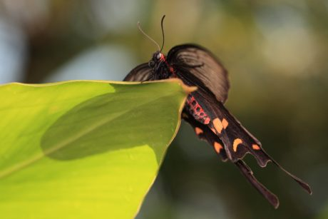 leaf, butterfly, nature, shadow, insect, arthropod, moth