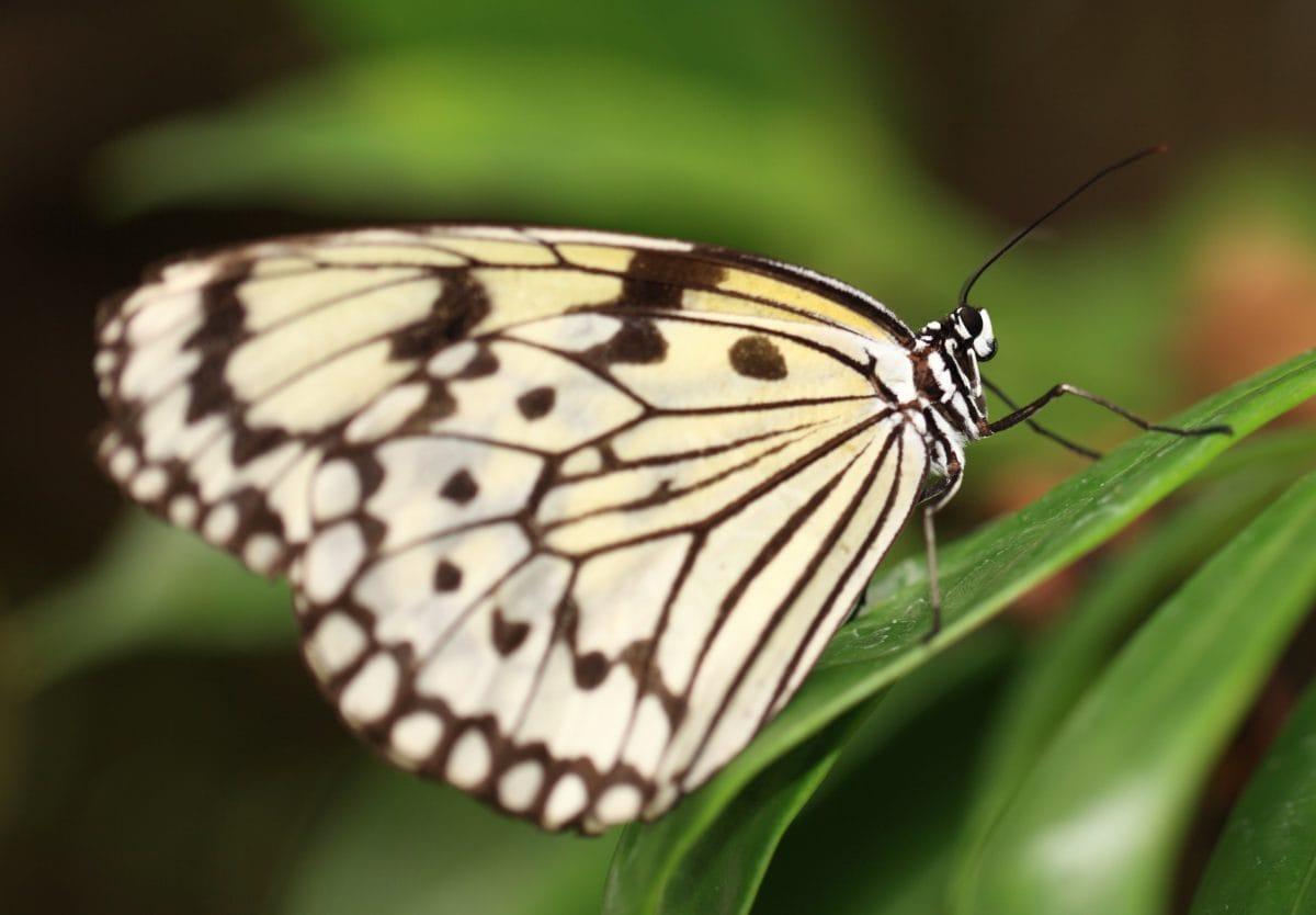 bijeli leptir, kukac, imitiranje, priroda, životinja, biljni i životinjski svijet, biljka, cvijet