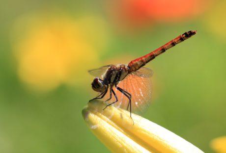 libélula, naturaleza, insecto, artrópodo, insecto, metamorfosis, invertebrados
