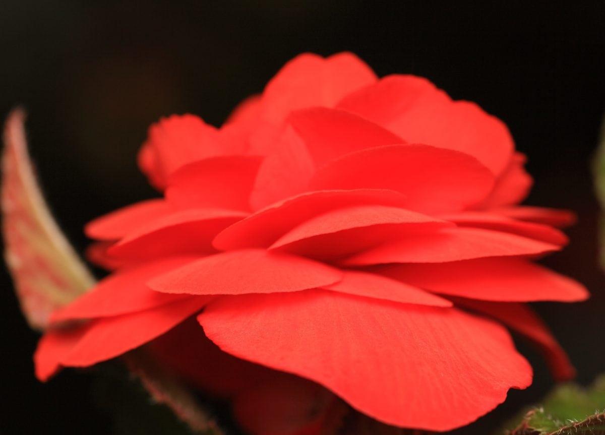 natur, blomma, rred OSE, kronblad, begonia, växt, Blom