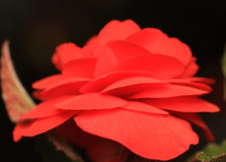 nature, flower, rred ose, petal, begonia, plant, bloom