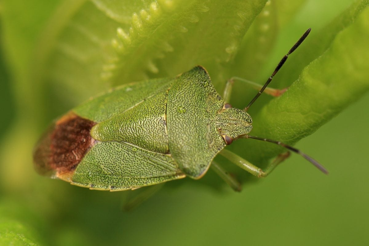 Besouro Verde, folha, invertebrado, inseto, vida selvagem, natureza, planta, animal