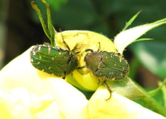 coléoptère vert, feuille, papillon, nature, invertébré, insecte, arthropode