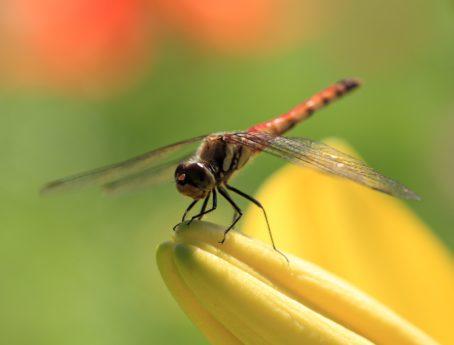 Libélula, invertebrado, natureza, vida selvagem, metamorfose, inseto, ao ar livre, artrópodes
