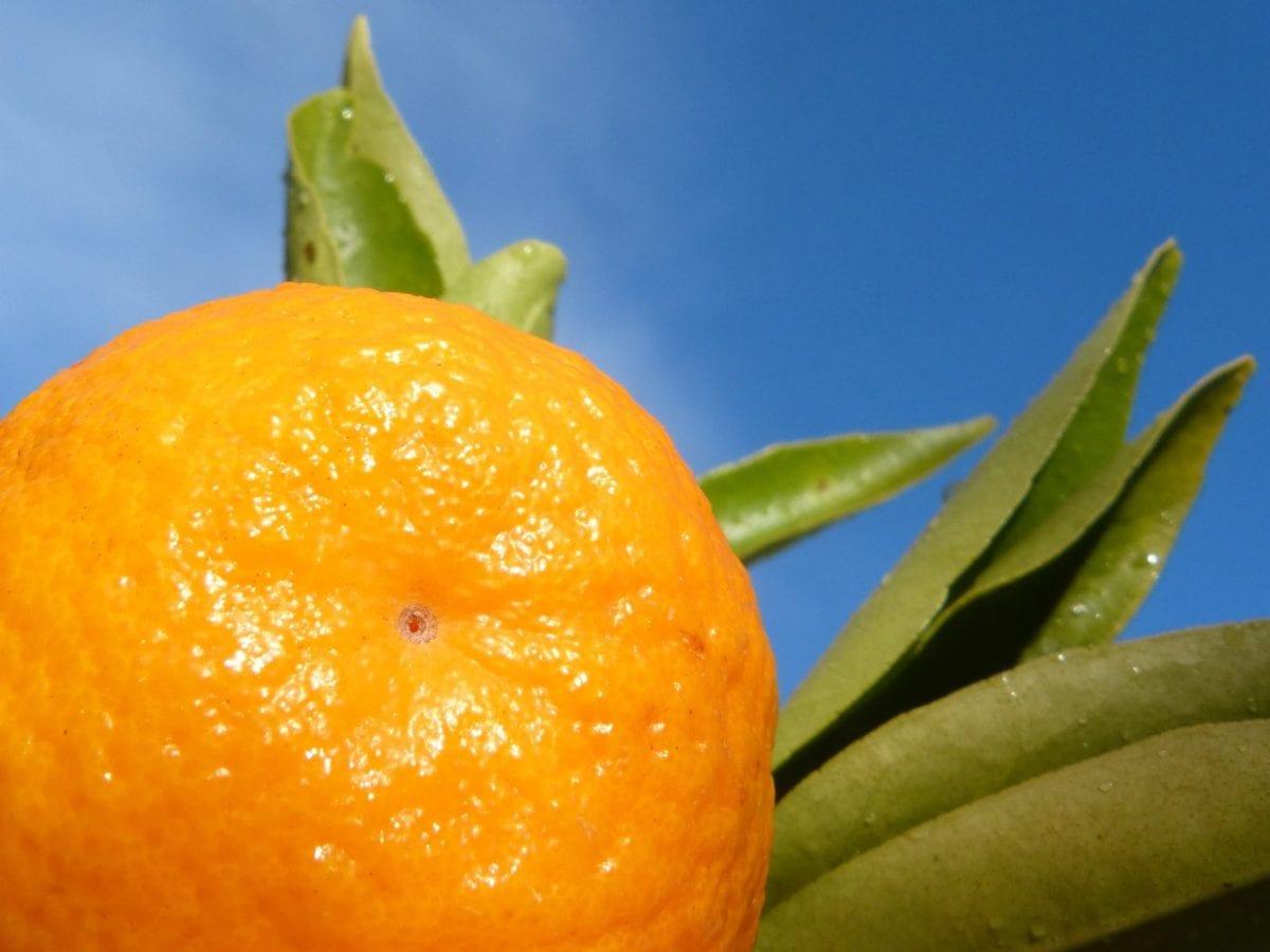 fruits, nourriture, feuille, mandarine, mandarine, agrumes, vitamine, alimentation, biologie
