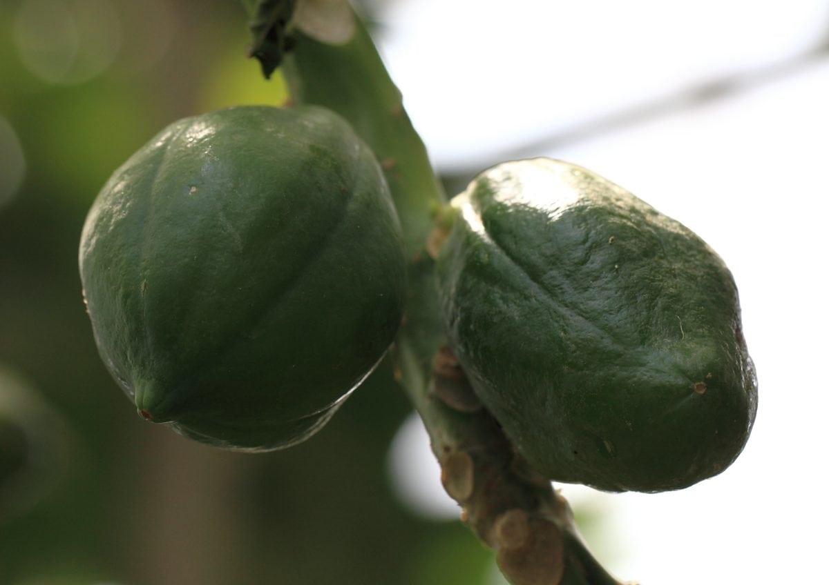 priroda, voće, list, hrana, papaw, voćnjak