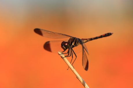 wildlife, black dragonfly, insect, metamorphosis, nature, invertebrate, arthropod
