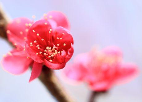 musim panas, sifat, bunga, pink, kelopak, tanaman, blossom, mekar