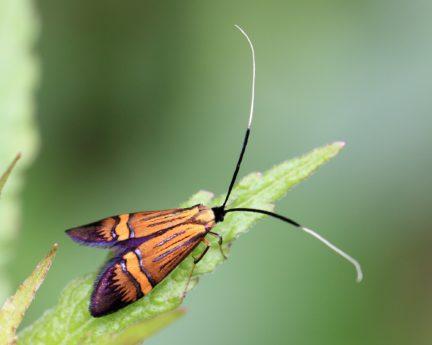 Insekten, wirbellose, Biologie, Natur, Tierwelt, Motte, Schmetterling